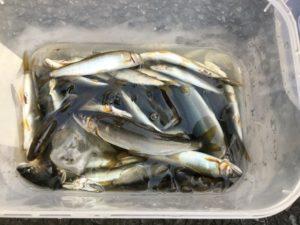 町田市・全日本鮎釣りチーム選手権 チーム相模屋・内田様~アユ 40匹~