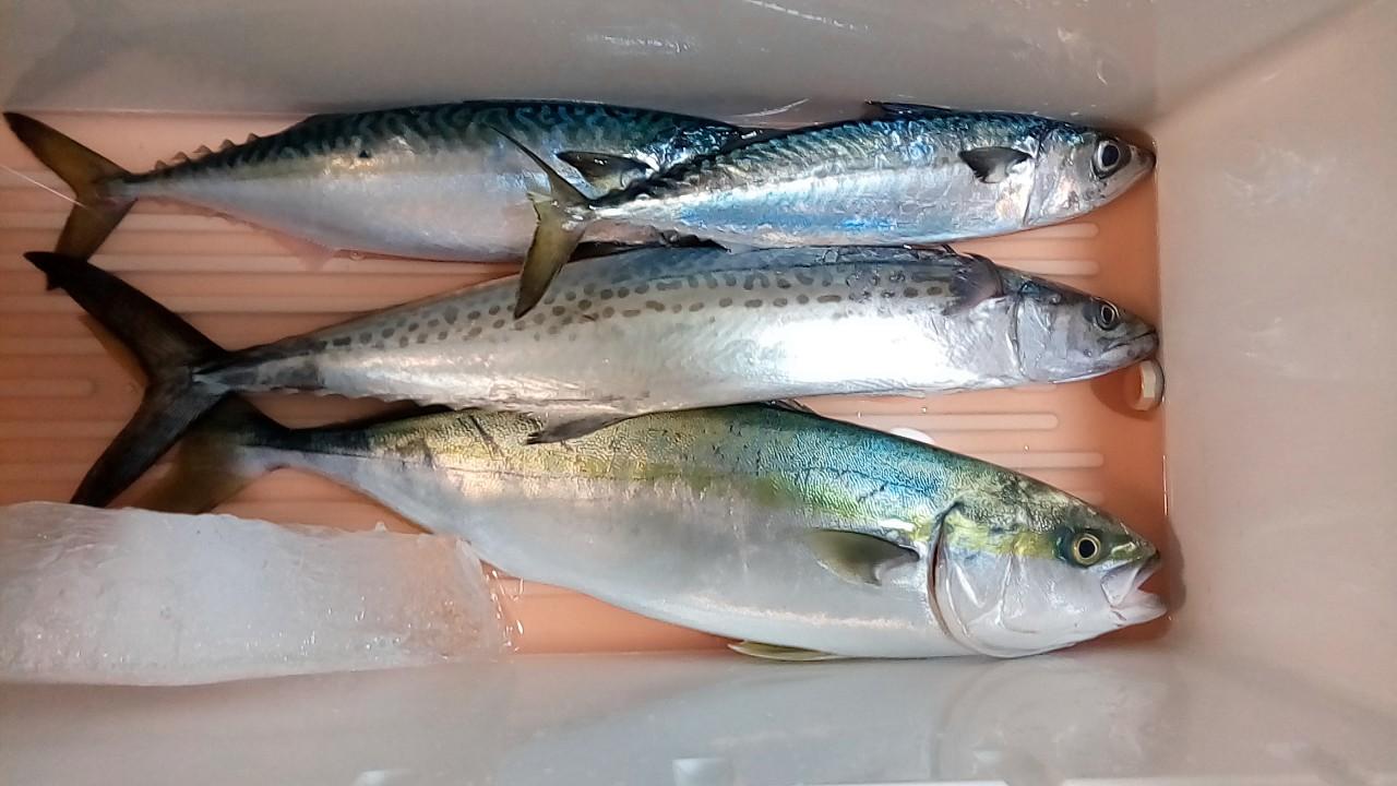 スタッフ石井釣行記〜イナダ1.5kg、サゴシ900g、サバ500~700g/2匹〜