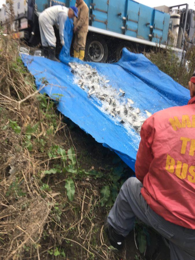 12月6日(金)弁天へら釣り場にヘラブナが500kg放流されました!